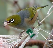 Talking with a mouth full! - Silvereye - Wax Eye - New Zealand by AndreaEL