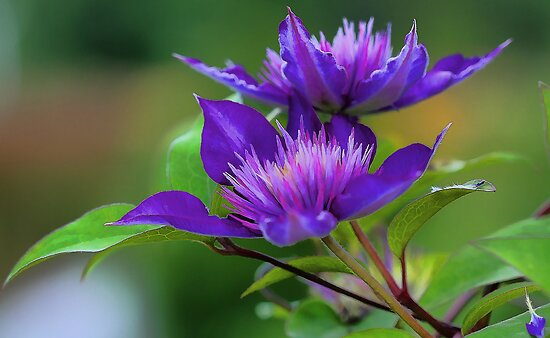 Clematis Blossoms by T.J. Martin