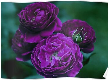 Purple Heart Roses by Robert Armendariz
