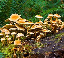 Mushrooms on Nurse Log by RavenFalls