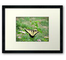 Papilio glaucus Framed Print