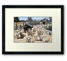 Sheep Dog working the Flock, Logan, Australia Framed Print
