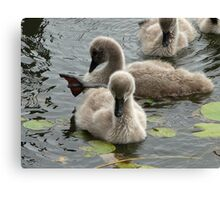 Restful Cygnets Canvas Print