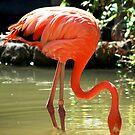 Flamingo fishing by loiteke