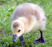 Baby Canada Goose by Randall Ingalls