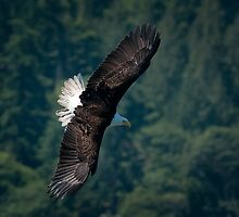Eagle scouting for prey by toby snelgrove  IPA
