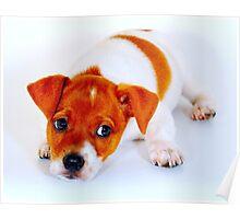 Chi hua hua puppy Poster
