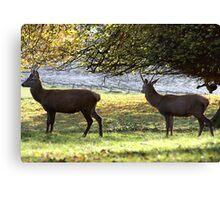 Young Bucks - Red Deer Canvas Print