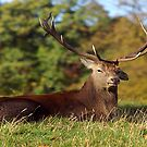 Lop Ears - Red Deer by Trevor Kersley