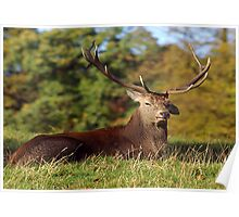 Lop Ears - Red Deer Poster