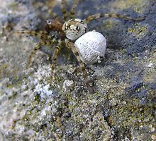 spider with egg sac (Aberdour beach) by armadillozenith