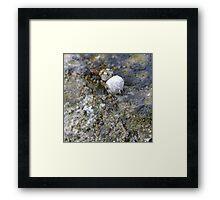 spider with egg sac (Aberdour beach) Framed Print