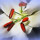 White Lily by EdsMum