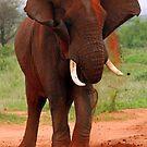 Elephants by Jennifer Sumpton