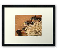 Feed Me! Feed Me! Barn Swallow Babies Framed Print