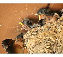 Feed Me! Feed Me! Barn Swallow Babies Photographic Print
