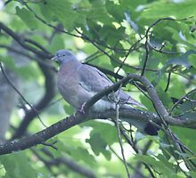 Woodpigeon - Mixenden, Halifax, UK by Andy Beattie
