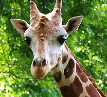 Giraffe Portrait I   by Alison M