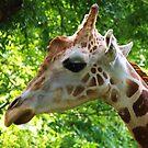 """Giraffe Portrait II  """"Guy's Facebook Profile"""" by Alison M"""