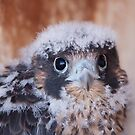 Young Peregrine by Kent Keller