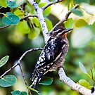 Red-naped Sapsucker by amontanaview