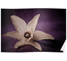Daffodil Vintage purple Poster