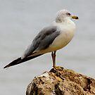 Ring-Billed Gull by Dave & Trena Puckett
