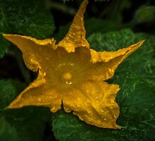 Zucchini Flower by Bette Devine