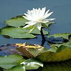 Water Lily by BarbL