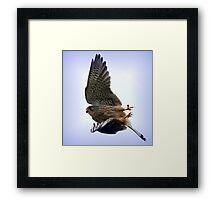 Flight Of The Kestrel / None Captive Framed Print