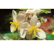 Begonia Hybrid Photographic Print