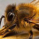 Honey Bee by Andrew Widdowson