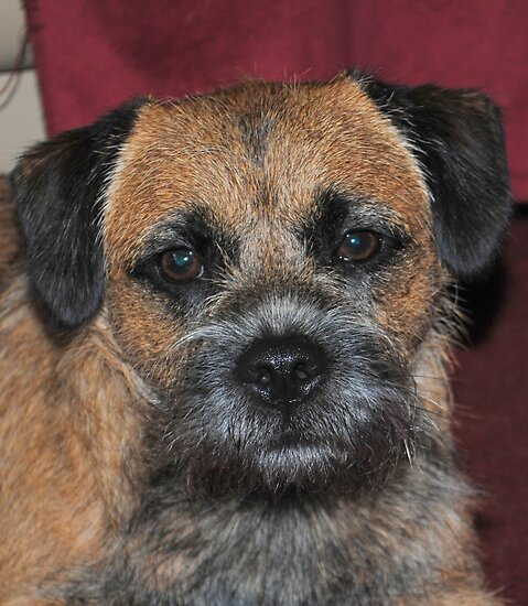 Sid the Border Terrier by Dorothy Thomson