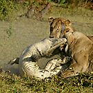 Nature:lion-crocodile interaction ( A once in a life time experience!) by jozi1