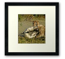 Nature:lion-crocodile interaction ( A once in a life time experience!) Framed Print