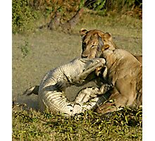 Nature:lion-crocodile interaction ( A once in a life time experience!) Photographic Print
