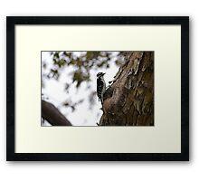 Downey Woodpecker Male Framed Print