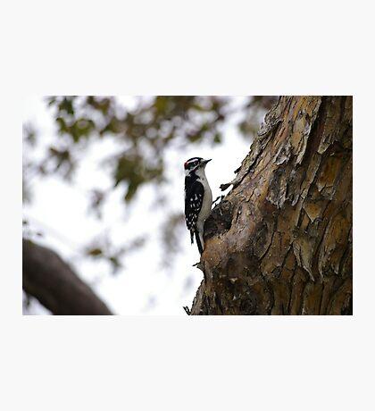 Downey Woodpecker Male Photographic Print