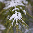 Snowy Fir Bough by C David Cook