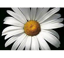 Sheer Summer - White Daisy Photographic Print