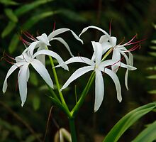 Swamp Lily by Joe Elliott
