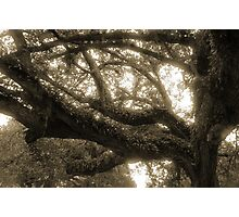 Live Oak and Ferns Photographic Print