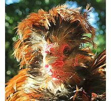 Spike the Firebird - Frizzled Polish Rooster Photographic Print
