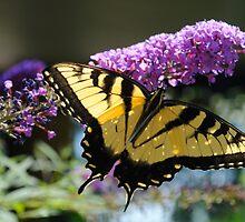 Eastern Tiger Butterfly  by laruecherie