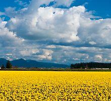 Skagit Daffodil Fields by RavenFalls