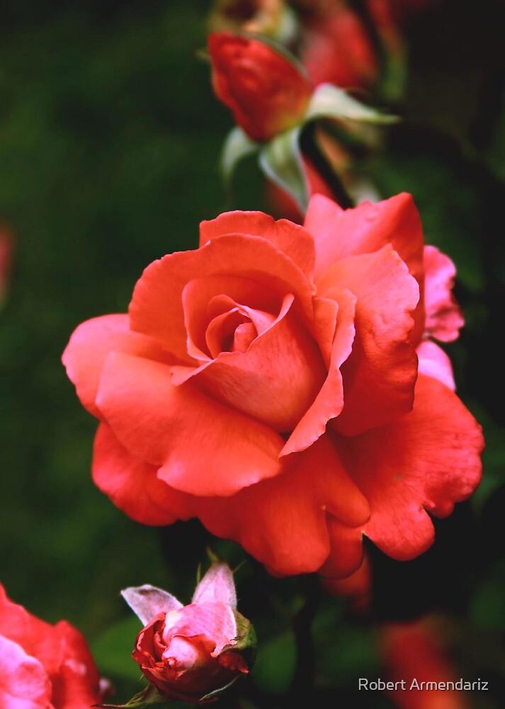 Cary Grant Hybrid Tea Rose by Robert Armendariz