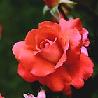 Cary Grant Hybrid Tea Rose by Robert Armendariz