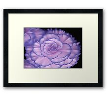 Violet Beauty Begonia ©  Framed Print