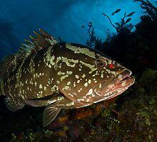 Nassau Grouper by tkrebs