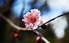 Sunlight On A Cherry Blossom  by Evita